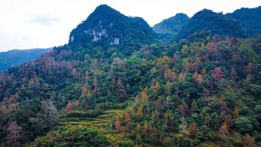 Maple tree colors transform landscape in northern Vietnam district
