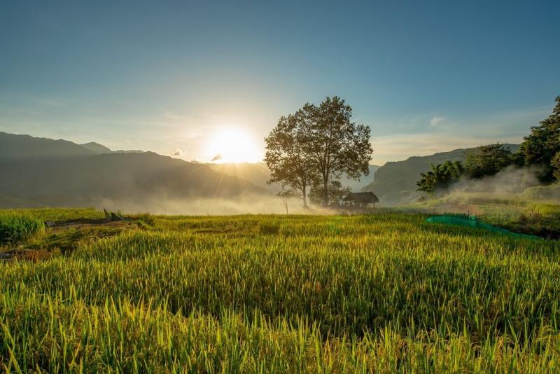 ripening rice fields, ripening rice season, ripening rice fields, ripening rice season